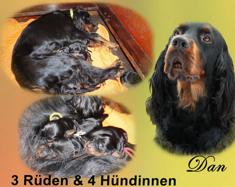 gordon-setter-zucht-foresters-of-darkmoor-welpen