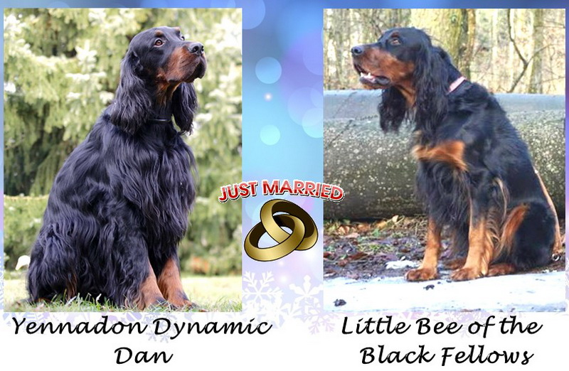 foresters-gordon-setter-zucht-of-darkmoor-welpen