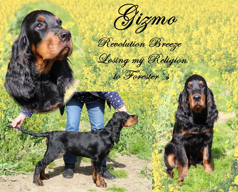 gordon-setter-zucht-foresters-of-darkmoor-gizmo