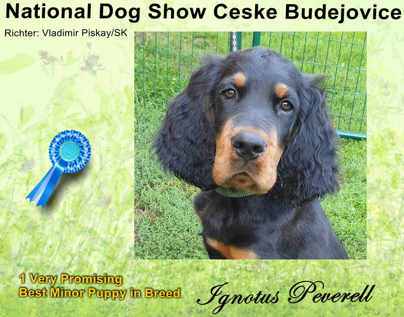 gordon-setter-zucht-foresters-of-darkmoor-ceske