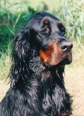 gordon-setter-zucht-foresters-highlight