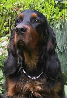 gordon-setter-zucht-foresters-pearl